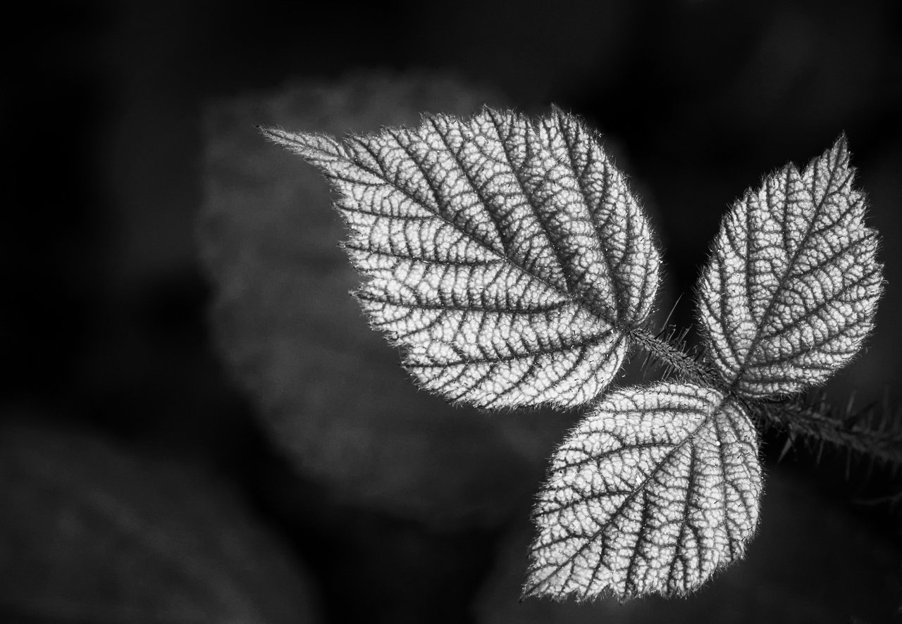 raspberry leaves in black and white jeff smallwood photography. Black Bedroom Furniture Sets. Home Design Ideas